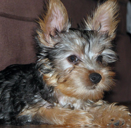 Lucy the Silky Terrier Pictures 10002