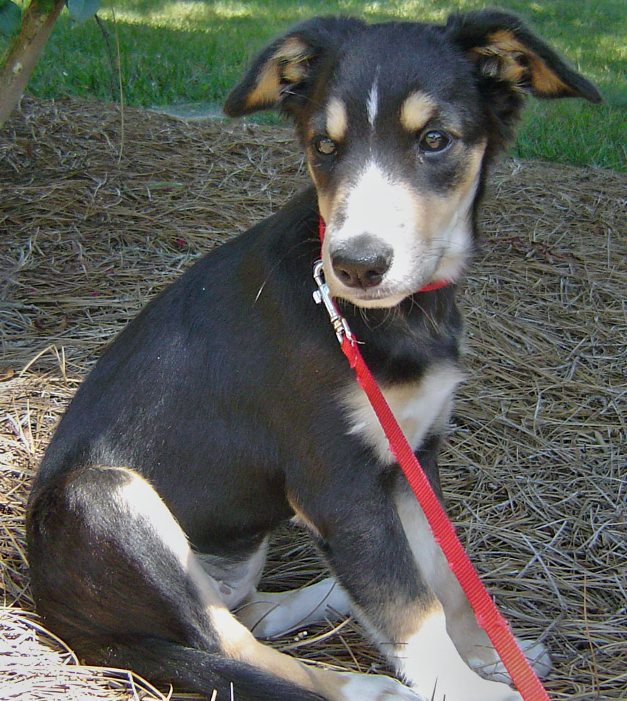 Lucy the Smooth Collie Mix Pictures 10403