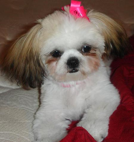 Lulabelle the Shih Tzu Pictures 2185