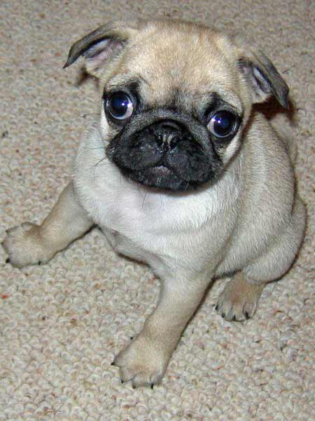 Maggie May the Pug Pictures 660