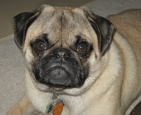 Magma the Pug Pictures 6408