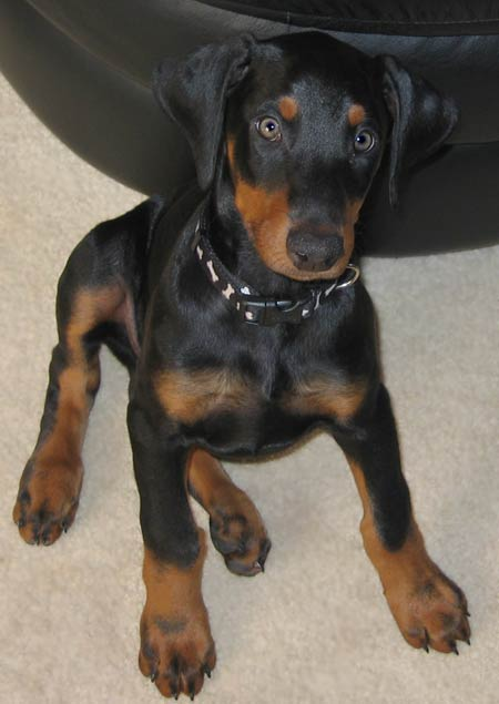 Magnum the Doberman Pictures 2574