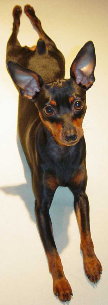 Marley the Miniature Pinscher Pictures 1402