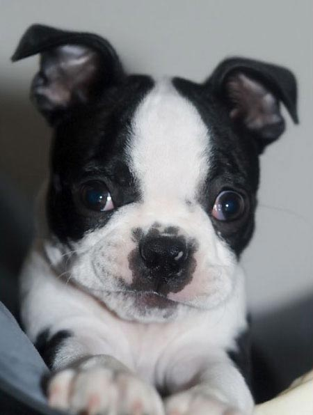 Marty the Boston Terrier Pictures 3357