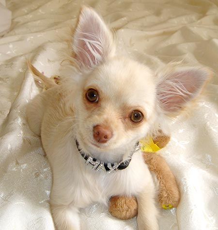 Max the Chihuahua Pictures 757