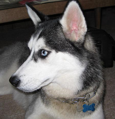Meekah the Siberian Husky Pictures 4880