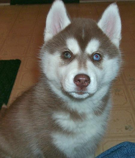 Meeshka the Siberian Husky Pictures 1418