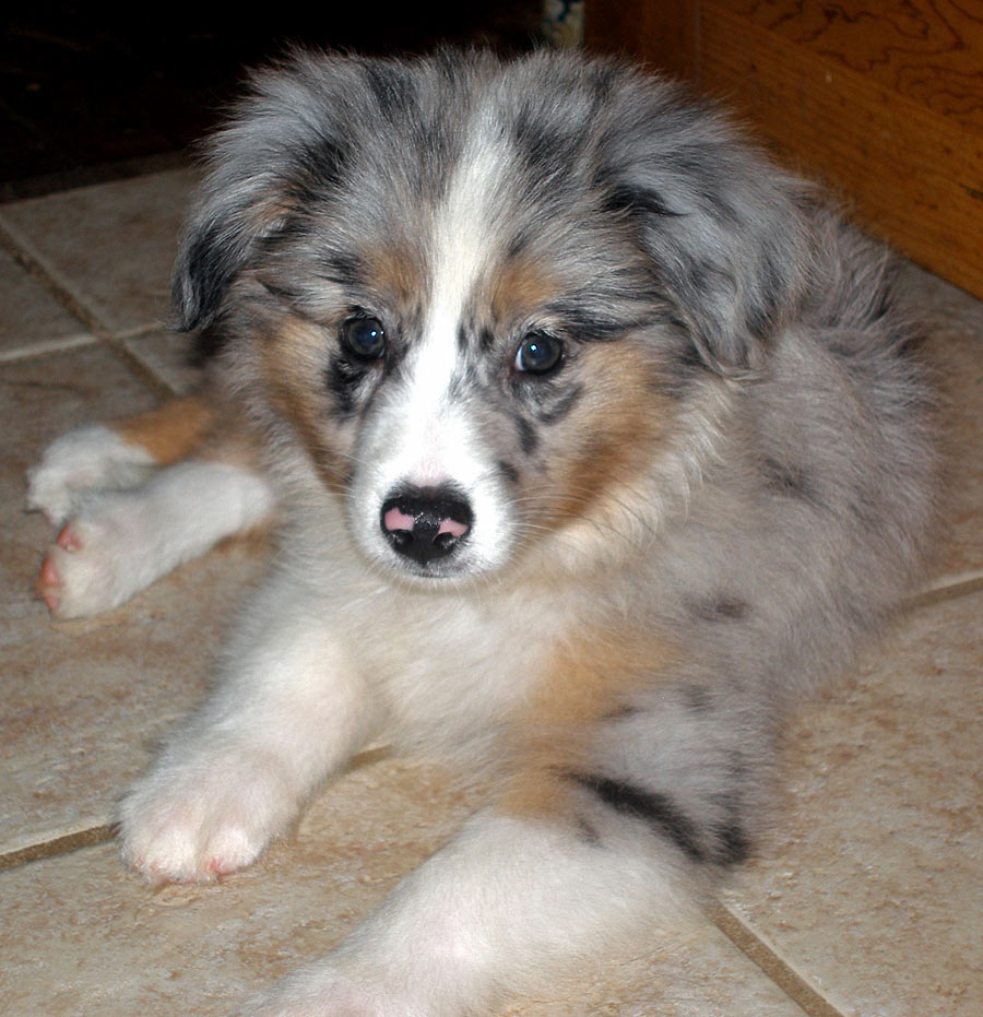 Mercury the Australian Shepherd Pictures 4661