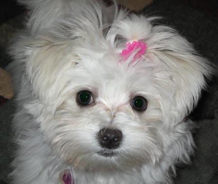 Mia the Maltese Pictures 2028