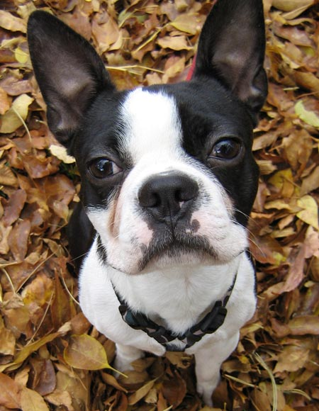 Miles the Boston Terrier Pictures 5934
