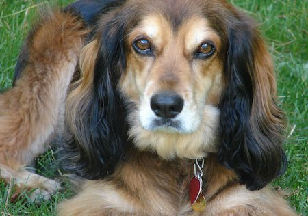 Miles the Dachshund / Spaniel Mix Pictures 7176