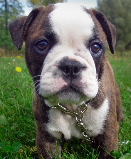 Minion the Boston Terrier / Bulldog Pictures 10046