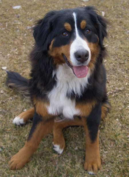 Misha the Bernese Mountain Dog Pictures 3162