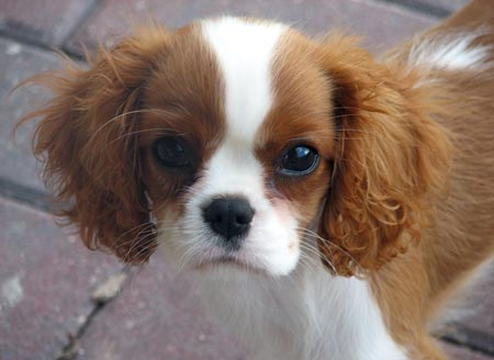 Madeleine the Cavalier King Charles Pictures 3776