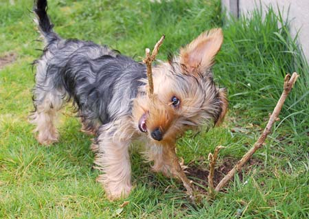 Mittsy the Yorkie Pictures 733