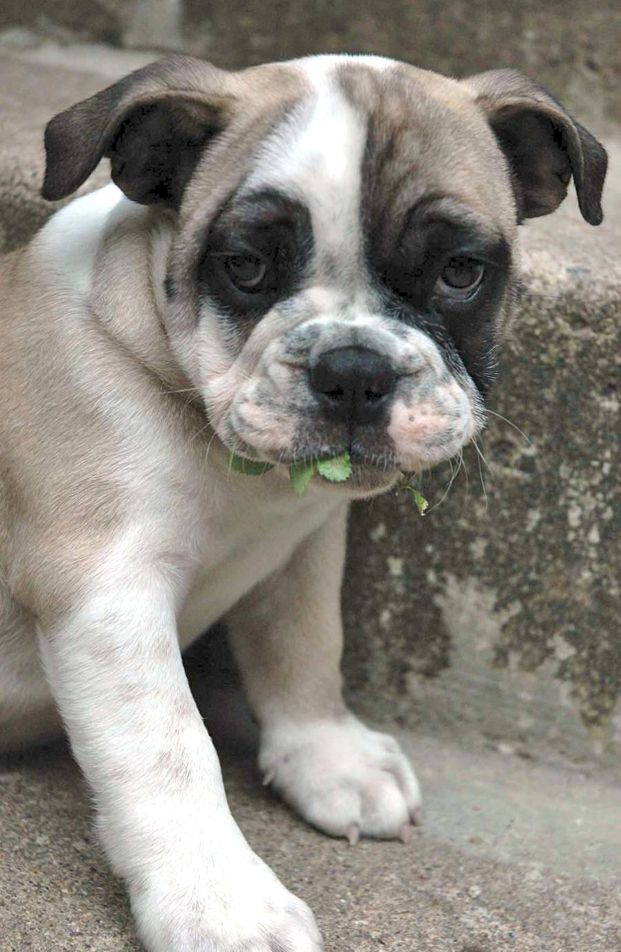 Moe the English Bulldog Pictures 7455
