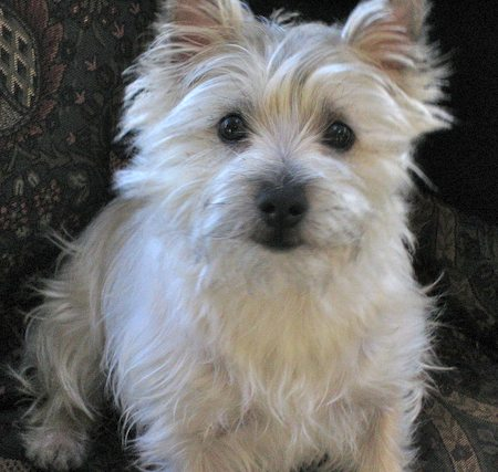 Molly the Cairn Terrier Pictures 8562