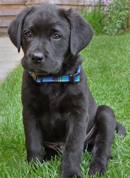 Monty the Labrador Retriever Pictures 10232