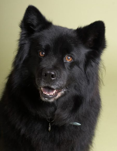 Moonshadow the Chow /  Lab Mix Pictures 8029