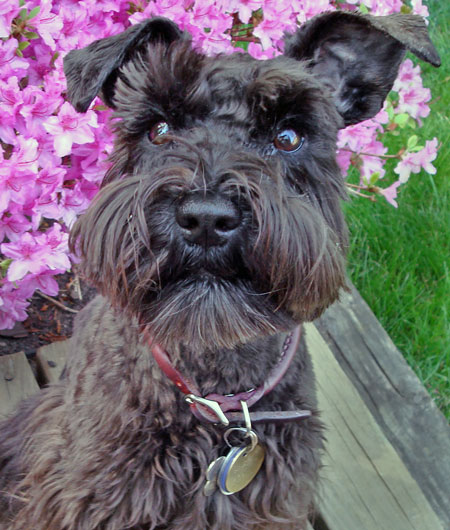 Moxie the Miniature Schnauzer Pictures 9852