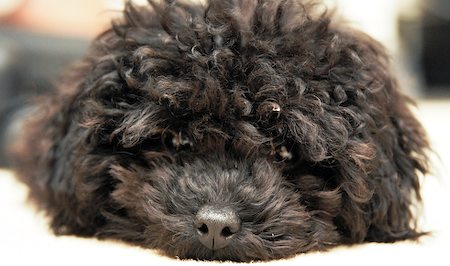 Moxie the Toy Poodle Pictures 8660