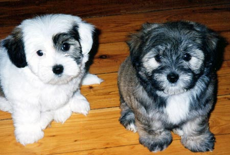 Jensen and Bentley, the Lhasa Apso/Maltese/Poodle Pups Pictures 96