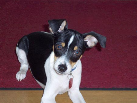 Murphy the Toy Fox Terrier Puppy Pictures 170