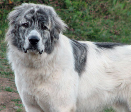 Noah the Great Pyrenees Mix Pictures 10783