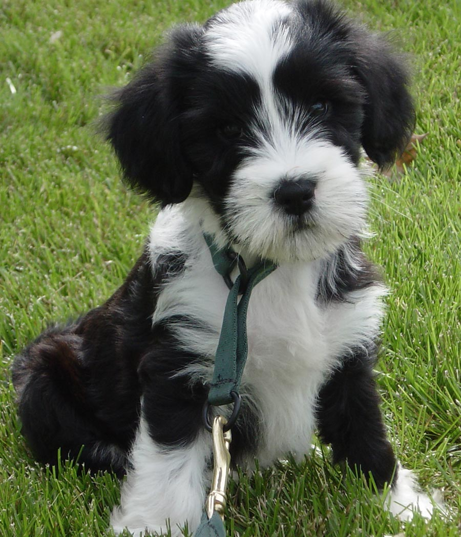 Norman the Tibetan Terrier Pictures 3645