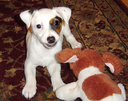 Nosha the Jack Russell Puppy Pictures 163