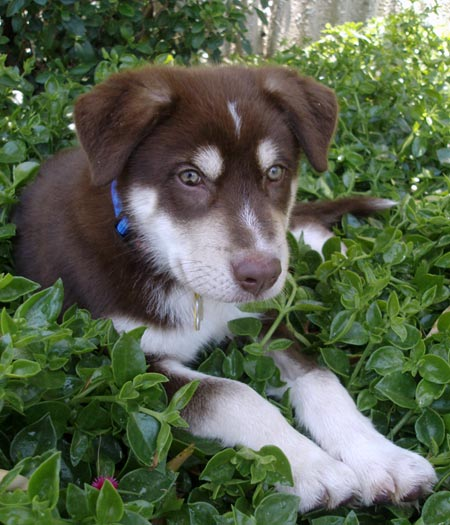 Odin the Husky/Aussie Mix Pictures 3724