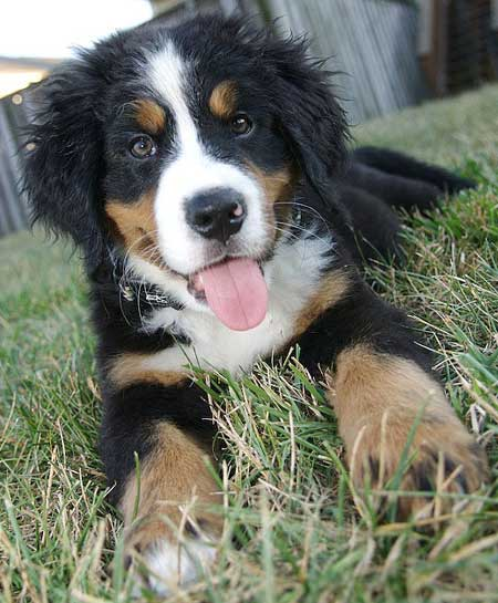 Oliver the Bernese Mountain Dog Pictures 2252