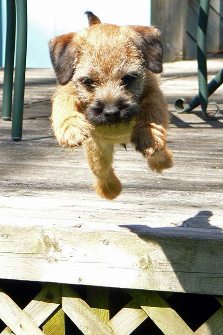 Ollie the Border Terrier Pictures 1367