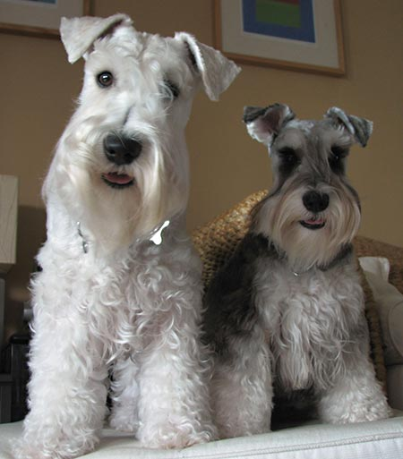 Ollie and Hunter the Miniature Schnauzers Pictures 3060