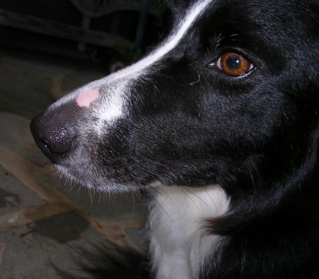 Oreo the Border Collie Pictures 1640
