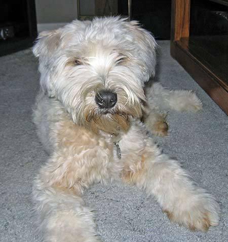 Paige the Soft-Coated Wheaten Terrier Pictures 1143
