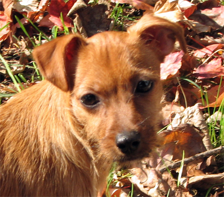 Pancake the Jack Russell Mix Pictures 10986