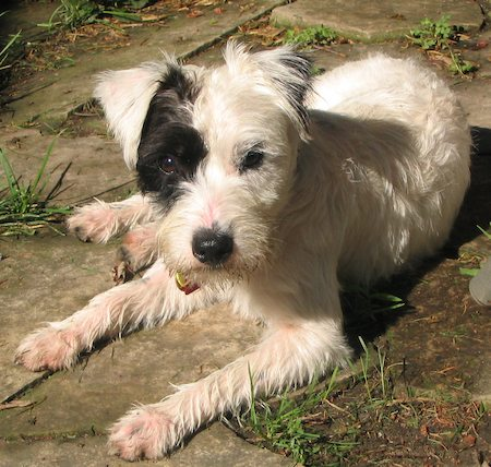 Patches the Jack Russell Terrier Mix Pictures 6984
