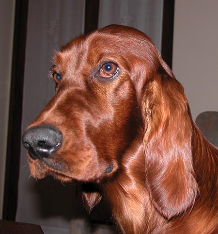 Peggy the Irish Setter Pictures 5264