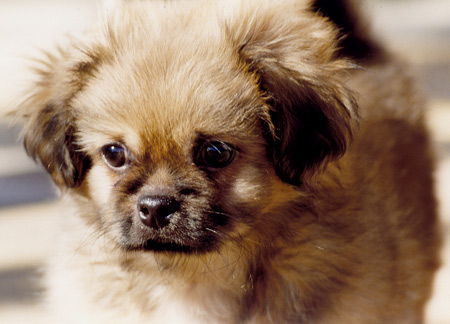 Peke Pictures 25