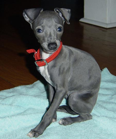 Penne the Italian Greyhound Pictures 3524
