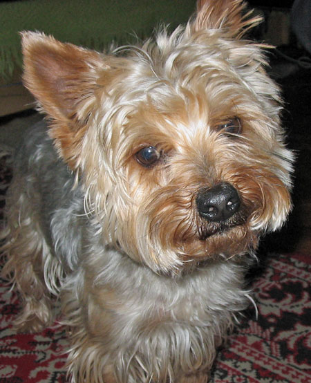 Pery the Yorkshire Terrier Pictures 10273