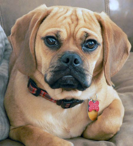 Pete the Puggle Pictures 4456