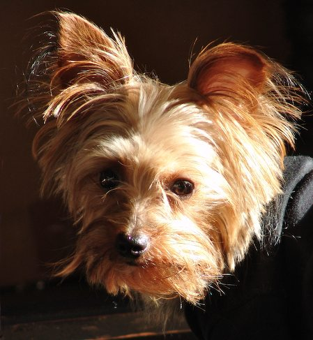 Pig the Yorkshire Terrier Pictures 8190