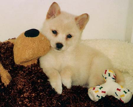Piko the Shiba Inu Puppy Pictures 83