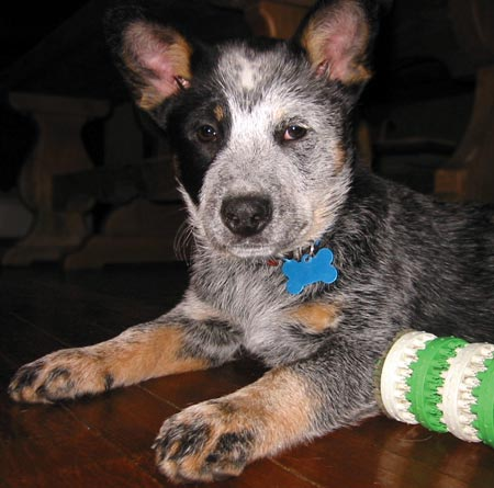 Pinka the Australian Cattle Dog Pictures 5477