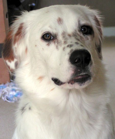 Poppet the Australian Shepherd Mix Pictures 7863