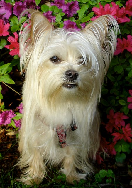Poppy the Maltese / Yorkie Mix Pictures 7779