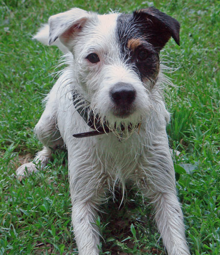 Quentin the Parson Russell Terrier Pictures 10575