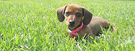 Raven the Dachshund Pictures 180